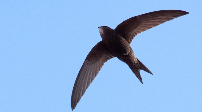 Swifts at St George's?